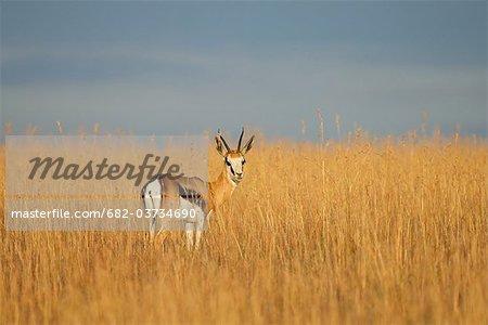Springbok (Antidorcas marsupialis) standing in grassland, Mountain Zebra National Park, Eastern Cape Province, South Africa