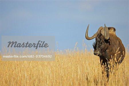 Blue Wildebeest (Connochaetes taurinus) in grasslands, Mountain Zebra National Park,  Eastern Cape Province, South Africa