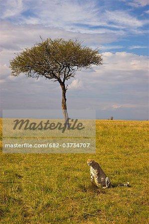 Cheetah (Acinonyx jubatus) on plain, Masai Mara National Reserve, Kenya