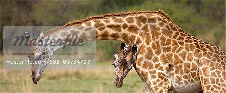 Masai girafe (Giraffa camelopardalis tippelskirchi) paire, réserve nationale de Masai Mara, Kenya