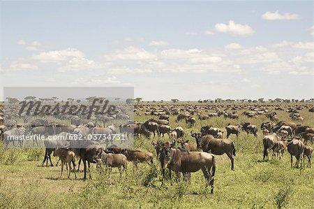 Large Wildebeest herd on Serengeti plains, Tanzania