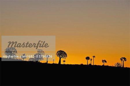 Stand de baobabs au soleil fin d'après-midi, près de Nieuwoudtville, Province de Northern Cape, en Afrique du Sud