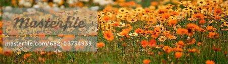 Un champ de marguerites accueille le printemps, le jardin botanique de Kirstenbosch, Cape Town, Western Cape Province, Afrique du Sud