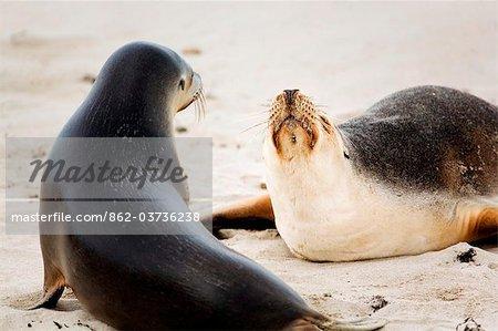 Australia, South Australia, Kangaroo Island.  Australian sea lions at Seal Bay Conservation Park.