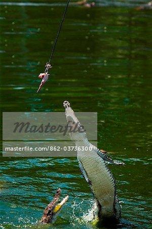 Australia, Northern Territory, Darwin.  Jumping crocodile at Crocodylus wildlife park.