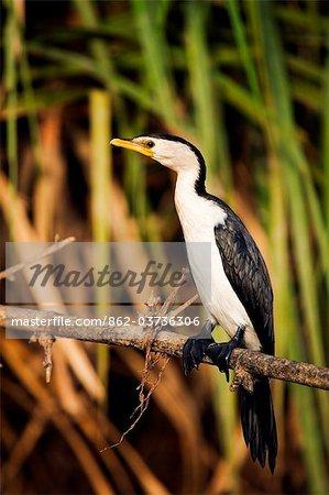 Australie, Northern Territory, Mary River National Park. Little Cormorant à Pied (Microcarbo melanoleucos) dans les milieux humides de la rivière Mary.