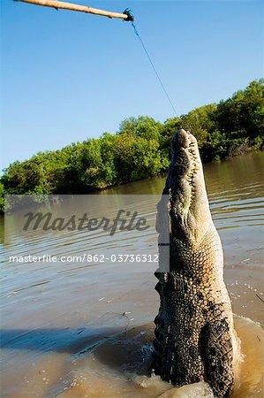 Crocodile marin d'Australie, Northern Territory, Darwin.A (Crocodylus porosus) sur un crocodile de croisière sur la rivière Adélaïde.