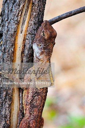 Australie, Northern Territory, Parc National de Kakadu. Lézard à collerette (Chlamydosaurus kingii), connu comme le Dragon à volants.