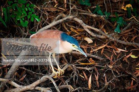Australie, Northern Territory, Parc National de Kakadu, Cooinda.Night Heron (Nycticorax caledonicus) dans les marais d'eau jaune.