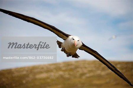 Îles Malouines ; L'île de West Point. Albatros à sourcils noirs (Thalassarche melanophris) en vol.