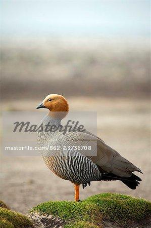 Falkland Islands, Sea Lion Island. Ruddy-headed Goose (Chloephaga rubidiceps) resting on mound of vegetation behind beach.