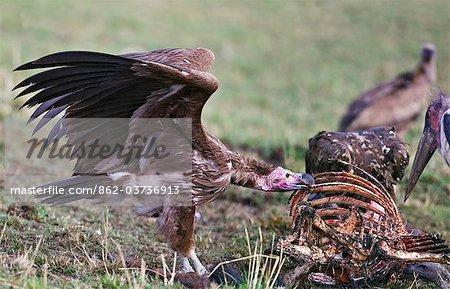 Kenya. Un oricou se nourrit sur une carcasse de gnous dans la réserve nationale de Masai Mara.
