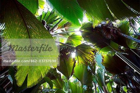 Seychelles, Praslin, Vallee de Mai Nature Reserve. Découvre dans la canopée de la forêt de mer de coco.