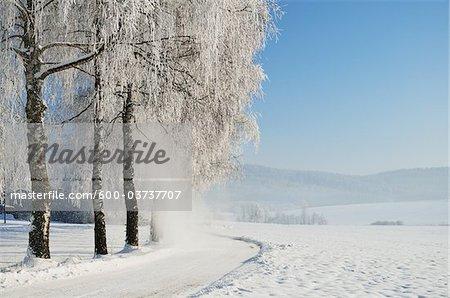 Bouleaux arbres, forêt noire, Schwarzwald-Baar, Bade-Wurtemberg, Allemagne