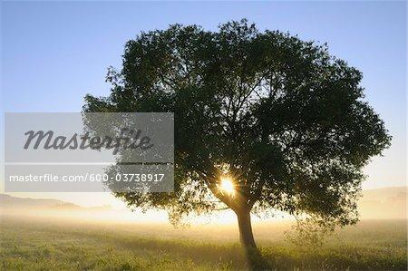 Sun Shining through Tree, Bavaria, Germany