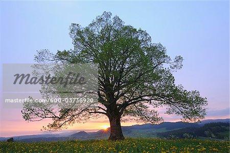 Linde im Frühjahr bei Sonnenaufgang, Heimhofen, Allgäu, Bayern, Deutschland
