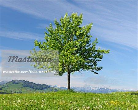 Tree in Spring, Mostviertel, Lower Austria, Austria