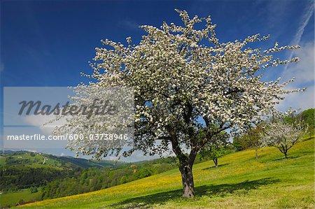 Apfelbaum in Blüte, Mostviertel, Niederösterreich, Österreich