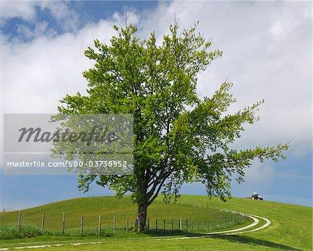 Beech Tree dans la prairie, Sonntaberg, Mostviertel, Basse-Autriche, Autriche