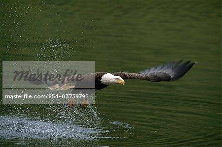 Pygargue capture le poisson sur une mouche Mikfik Creek, McNeil rivière état Game Sanctuary, sud-ouest de l'Alaska, été