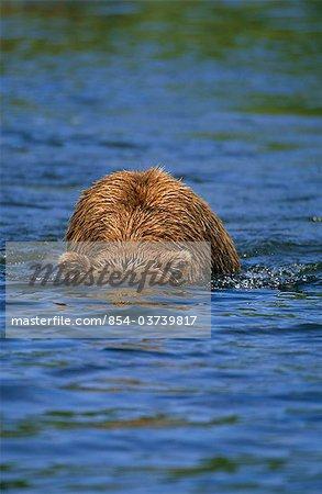 Grizzly de pêche pour le saumon en regardant sous l'eau, Mikfik Creek, McNeil rivière état refuge de gibier, sud-ouest de l'Alaska, l'été