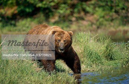 Grizzly bear promenades le long de la Mikfik Creek, McNeil rivière état Game Sanctuary, sud-ouest de l'Alaska, été