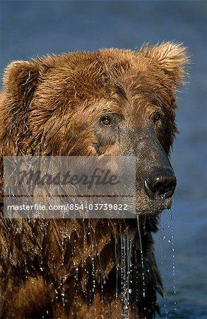 Gros plan d'un grizzli humide alors qu'il pêchait dans le ruisseau de Mikfik, refuge de gibier état rivière McNeil, sud-ouest de l'Alaska, l'été