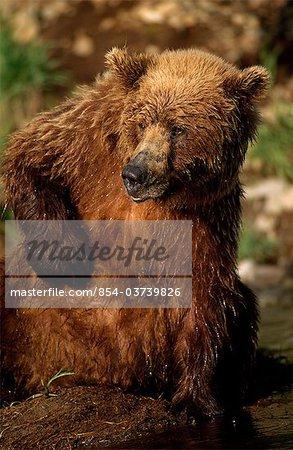 Grizzli gratter sa poitrine assis à côté de Mikfik Creek, McNeil rivière état Game Sanctuary, sud-ouest de l'Alaska, l'été