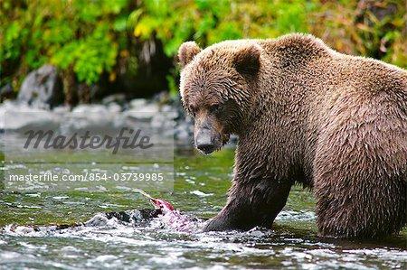 Bouchent la vue d'une pêche ours brun adulte pour le saumon dans le fleuve russe, la péninsule de Kenai, centre-sud de l'Alaska, l'été