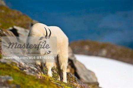 A Mountain Goat near Exit Glacier's Harding Icefield Trail grazing on plants, Kenai Fjords National Park, Kenai Peninsula, Southcentral Alaska, Summer