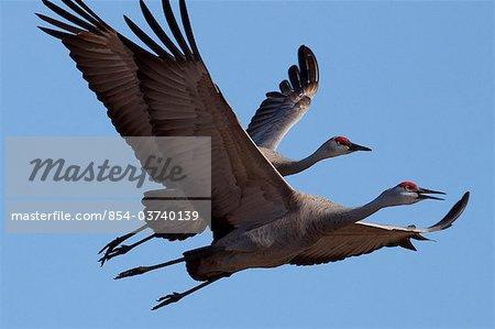 Pair of Sandhill Cranes fly over the Matanuska-Susitna Valley near Palmer, Southcentral Alaska, Spring