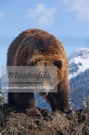Un adulte ours brun le centre de Conservation de la faune Alaska près de Portage, centre-sud de l'Alaska, printemps, captif, menaçant