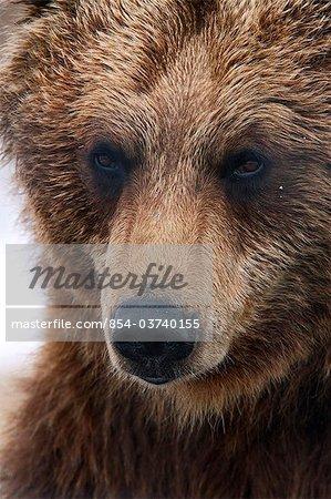 Bouchent le portrait d'un ours brun adulte dans le centre de Conservation de la faune Alaska près de Portage, centre-sud de l'Alaska, printemps, captif
