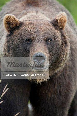 Portrait d'une femelle ours brun dans le centre de Conservation de la faune de l'Alaska près de Portage dans le centre-sud de l'Alaska, l'été. En captivité