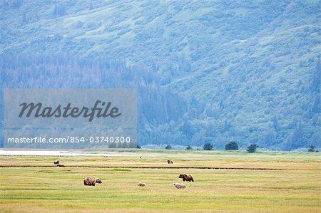 Brown et oursons nourrissant d'herbe de Carex dans une prairie près du ruisseau de corne sur le Glacier de cracher dans la région de la baie de Chinitna de Lake Clark National Park, Alaska du centre-sud, l'été