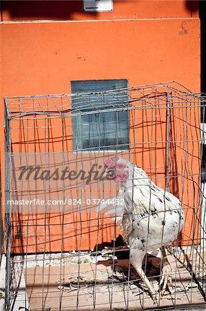 Chicken in a pen