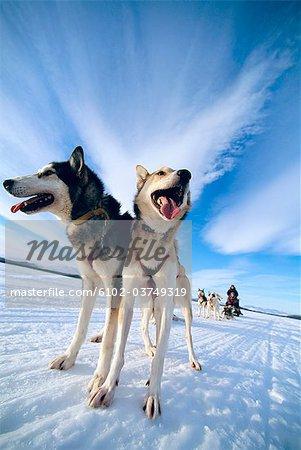 Ein Hund-Team in Lappland, Schweden.