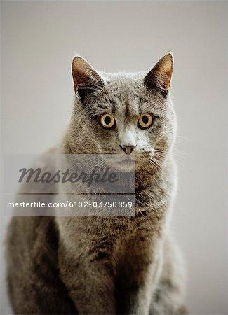 Portrait of a grey cat.