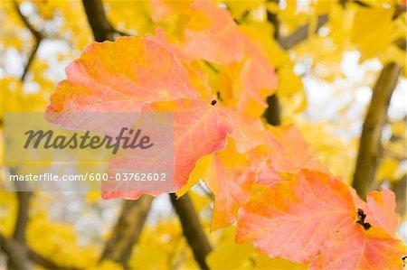 Feuilles d'automne, Salzbourg, Autriche