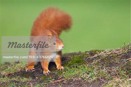 Eurasische Eichhörnchen, Deutschland