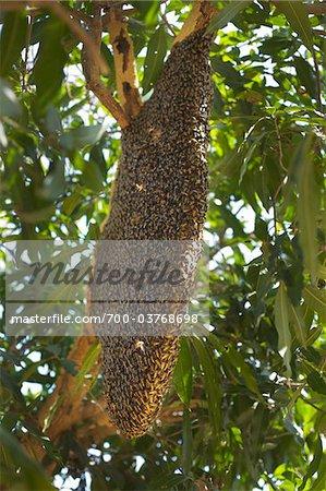 Essaim d'abeilles géantes sur nid d'abeille en manguier, Ubon Ratchathani, Thaïlande