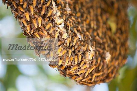 Essaim d'abeilles géantes
