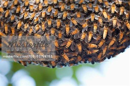 Riesen-Honig-Biene-Nest