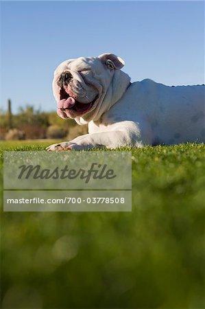 English Bulldog Lying Down in Park