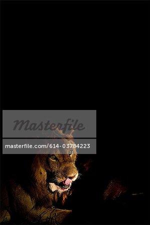 Lion après frais kill