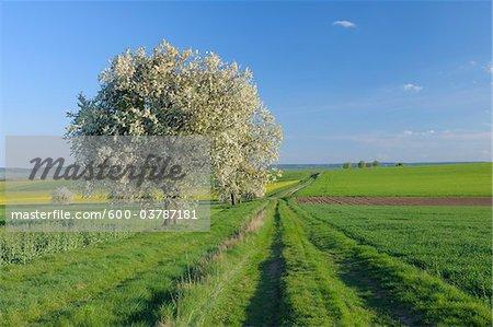 Cherry Tree in Bloom in Farmland, Franconia, Bavaria, Germany