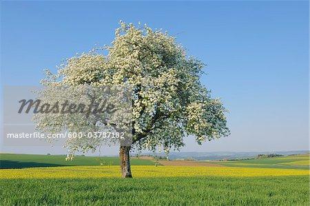 Pear Tree in Bloom in Meadow, Mettlach, Merzig-Wadern District, Saarland, Germany