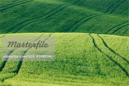 Champ de blé avec chemins de roulement, Pienza, Val d'Orcia, Province de Sienne, Toscane, Italie