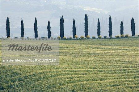 Rangée de cyprès de champ de blé, Val d'Orcia, Province de Sienne, Toscane, Italie