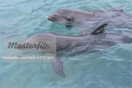 Baleine à bec commune commune dauphins, mer des Caraïbes, Roatan, Bay Islands, Honduras